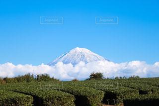 お茶畑と富士山の写真・画像素材[1635723]