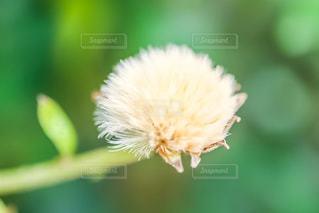 ツワブキの綿毛の写真・画像素材[1705213]