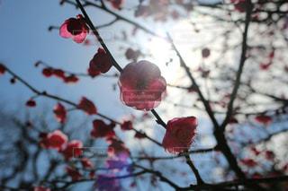 梅の花の写真・画像素材[968128]