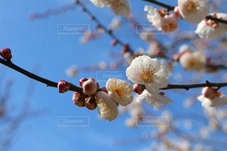 梅の花の写真・画像素材[968130]