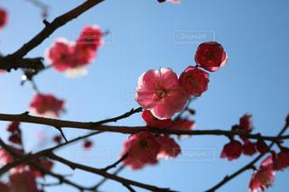 梅の花の写真・画像素材[968132]