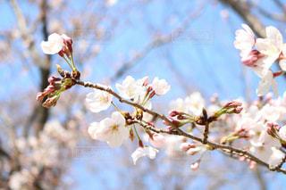 桜の写真・画像素材[968147]