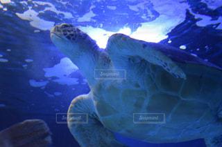 ウミガメの写真・画像素材[958949]
