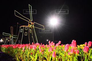チューリップ畑の写真・画像素材[1092139]