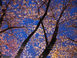 夜桜 - No.836459