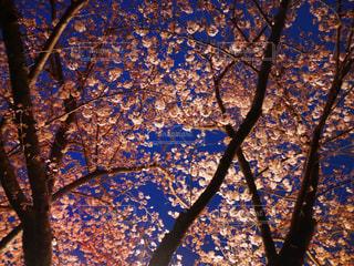 夜桜 - No.836464
