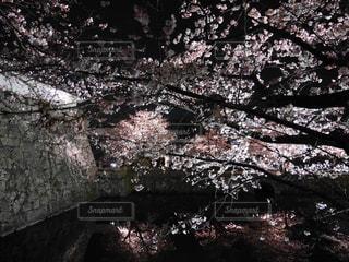 夜桜 - No.836465