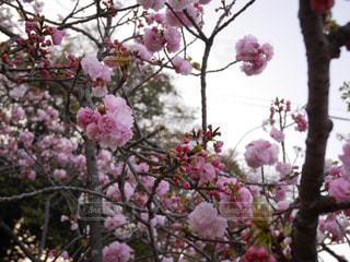 桜 - No.1029799