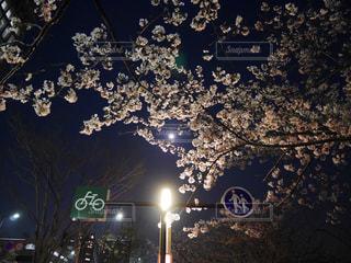 夜桜 - No.1095344