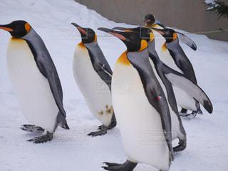 ペンギン - No.1137039