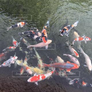 水路で群れる錦鯉の写真・画像素材[1728299]