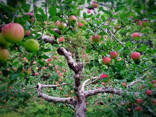 りんごの木の写真・画像素材[836909]