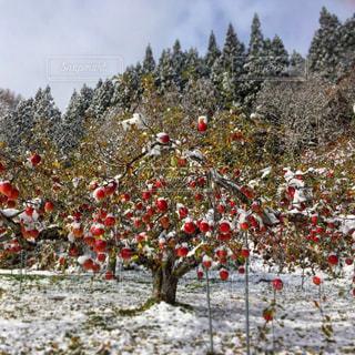 りんごのクリスマスツリーの写真・画像素材[836910]