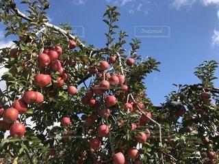 りんごの木の写真・画像素材[885674]