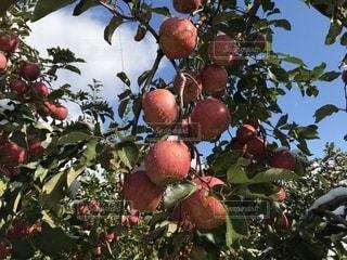 木からぶら下がって果物の写真・画像素材[885675]