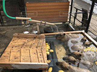 カピバラ温泉の写真・画像素材[952383]