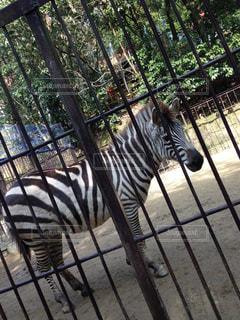 Zebraの写真・画像素材[841606]