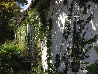白壁と蔦の写真・画像素材[843917]