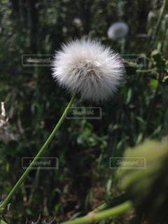 綿毛の写真・画像素材[846540]