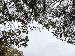 木の実のシルエットの写真・画像素材[853819]