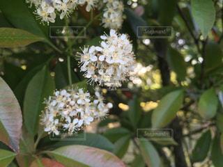 白い花の写真・画像素材[1424009]