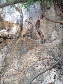 タイのクラビー 野生の猿の写真・画像素材[839498]