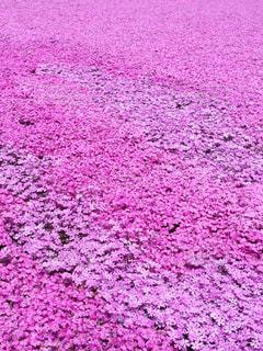 ピンクの絨毯の写真・画像素材[841736]