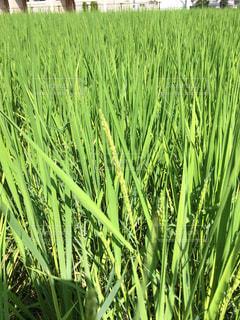 背の高い緑の草の写真・画像素材[840548]
