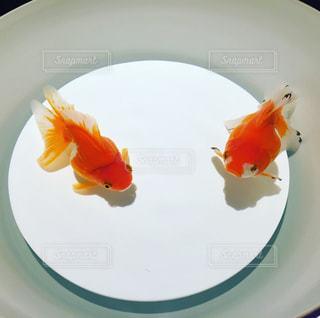 金魚 - No.839716