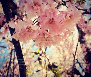 春の桜の写真・画像素材[1532300]