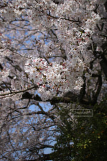 桜満開の一部の写真・画像素材[1997474]