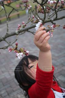 子供が桜をの写真・画像素材[2014797]