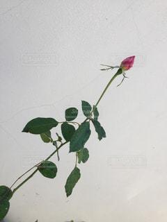 バラの蕾の写真・画像素材[1630891]