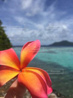 プルメリアの花びらの写真・画像素材[1633338]