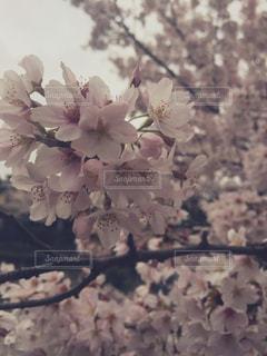 桜の写真・画像素材[1633380]