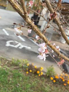 冬の桜の写真・画像素材[1644536]