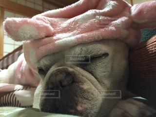 コタツで寝る犬の写真・画像素材[1705665]