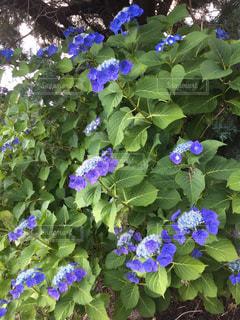 紫陽花の写真・画像素材[2300097]