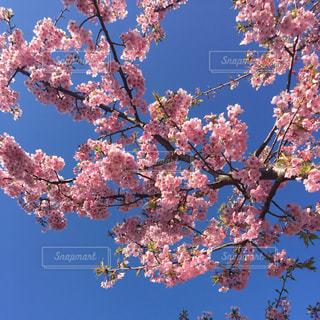 桜の写真・画像素材[840362]