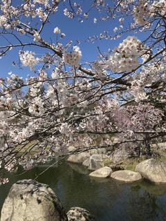 池と桜。の写真・画像素材[2032396]