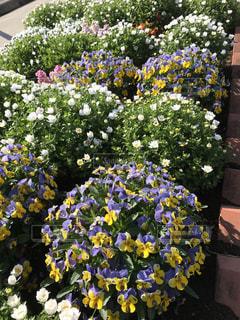 春の花壇の写真・画像素材[2032407]