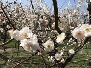 木からぶら下がって花の写真・画像素材[1076392]