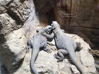 岩の上のトカゲの写真・画像素材[843768]
