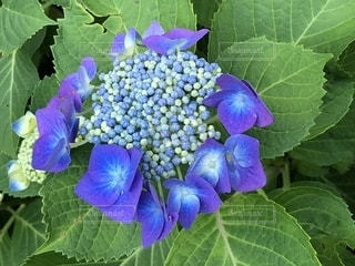 鎌倉の紫陽花の写真・画像素材[1228290]