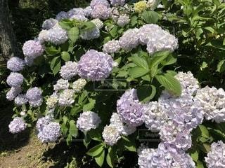 満開の紫陽花のイメージの写真・画像素材[1228317]