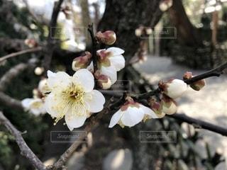 梅の写真・画像素材[1804137]
