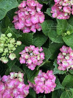 たくさんの紫陽花の写真・画像素材[2186849]