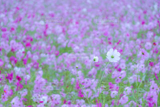 コスモス畑の写真・画像素材[842004]
