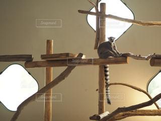 ワオキツネザルの写真・画像素材[843423]