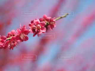 大阪城公園の梅。の写真・画像素材[1066900]